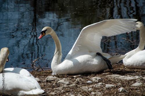 Staande foto Zwaan Swans family at near a lake