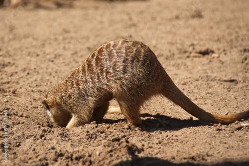 Tuinposter Eekhoorn Borrowing meerkat