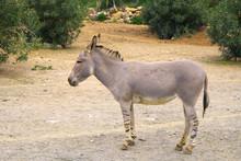 Single Somali Wild Ass Donkey,...