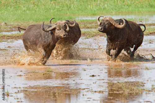 Tuinposter Buffel Buffalo male following females and running in the water of Lake Manyara National Park in Tanzania