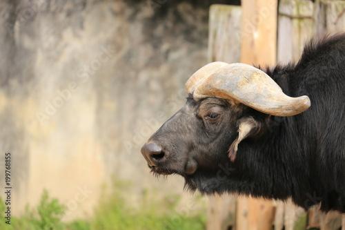 Staande foto Buffel バッファロー