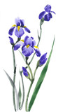 Iris flower. Iris blossoming. Lilac flowers. Watercolor background.