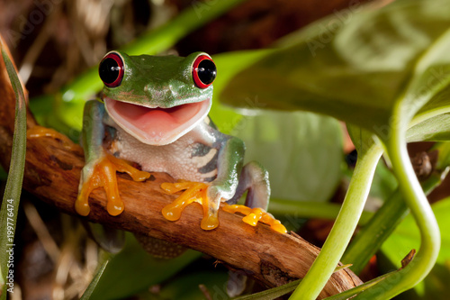 Spoed Foto op Canvas Kikker Red-eyed tree frog smile