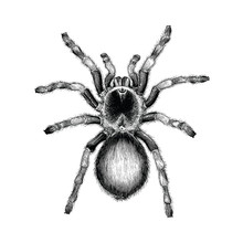 Tarantula Spider Hand Drawing ...