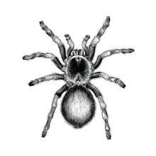 Tarantula Spider Hand Drawing Vintage Engraving Illustration,Tarantula Spider Tattoo Design