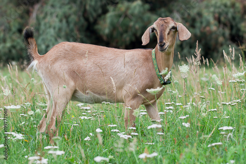 Photo Anglo-Nubian goat grazing on the meadow