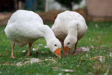 A Pair Of White Geese
