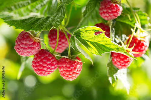 Poster Fruits ripe raspberries in a garden