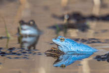 Moor Frogs When Mating. The Ma...