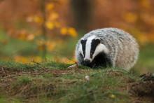 Portrait Of European Badger (M...