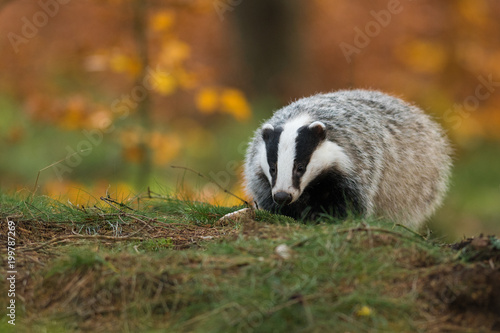 Portrait of European badger (Meles meles in his natural environment Canvas Print
