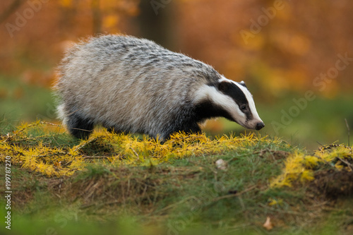 Portrait of European badger (Meles meles in his natural environment Wallpaper Mural