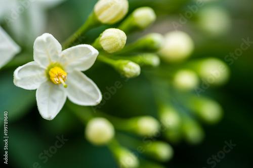 Photo  Makro einer blühenden Jasmin Pflanze