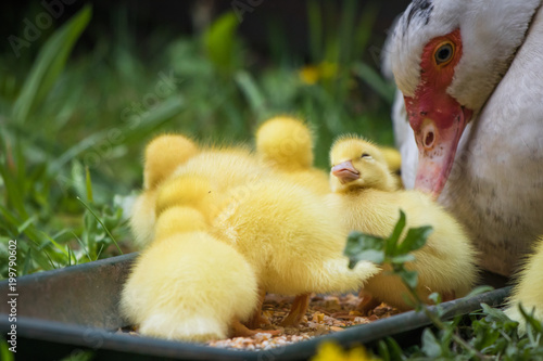 portrait of mother muscovy duck and group of cute yellow