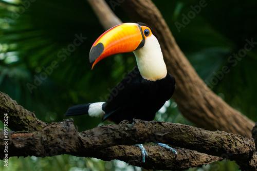 Foto op Canvas Toekan Toucan sits on a branch