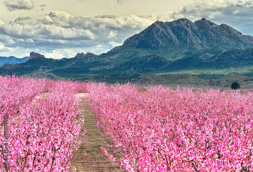 Blossoming fruit trees in Cieza. Murcia region. Spain