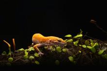 Smiley Leopard Gecko Macro Pho...