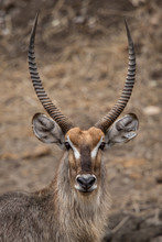 Male Waterbuck Portrait In Krugerpark In South Africa