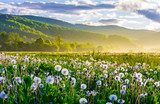Fototapeta Puff-ball - dandelion field on foggy sunrise. beautiful agricultural scenery in mountains