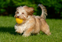 Playful Chocolate Colored Havanese Puppy Walking With Her Ball In The Grass