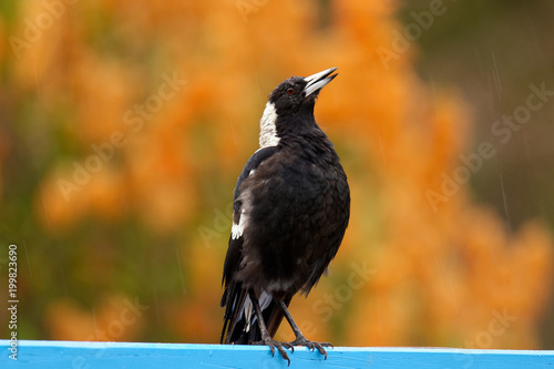 The Australian magpie (Gymnorhina tibicen) is a medium-sized black and white passerine bird native to Australia and southern New Guinea Wallpaper Mural
