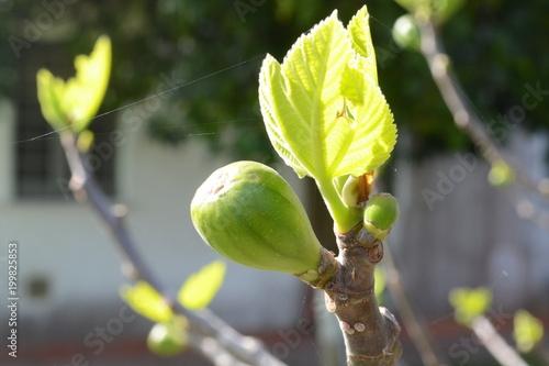 albero di fico in primavera Tablou Canvas