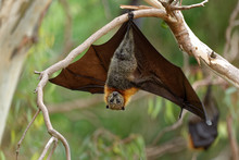 The Grey-headed Flying Fox Pte...