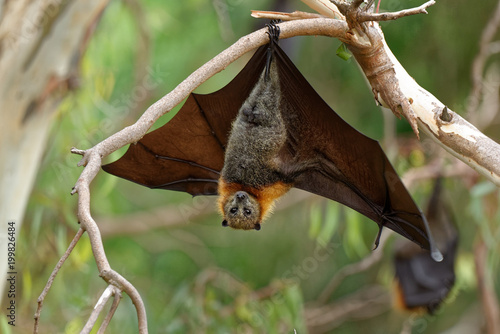 Fotografering The grey-headed flying fox Pteropus poliocephalus is the largest bat in Australia