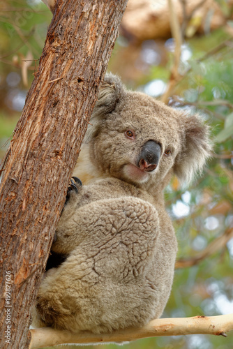 Poster Oceanië The koala (Phascolarctos cinereus, or, inaccurately, koala bear) is an arboreal herbivorous marsupial native to Australia