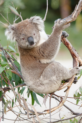 In de dag Koala The koala (Phascolarctos cinereus, or, inaccurately, koala bear) is an arboreal herbivorous marsupial native to Australia