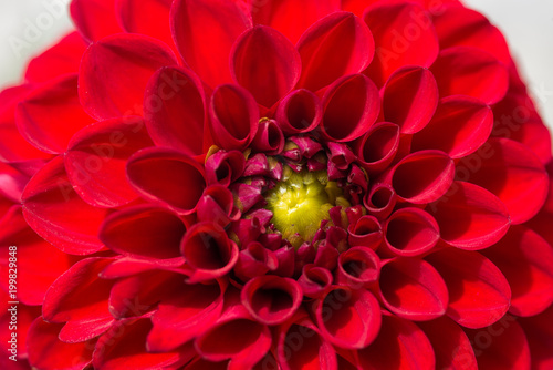 Poster de jardin Dahlia Red chrysanthemum flower close up macro photo.