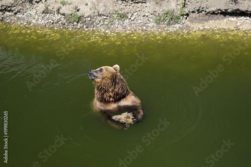 Foto op Aluminium Tijger Bear in water resting and playing
