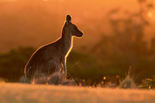 Forester (Eastern Grey) Kangaroo, Macropus Giganteus, Jumping, Tasmania, Australia, Sunset, Night Photo
