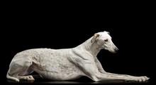 Greyhound Dog  Isolated  On Bl...