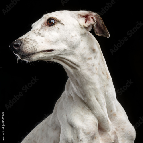 Cuadros en Lienzo Greyhound Dog  Isolated  on Black Background in studio