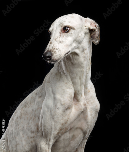 Photo Greyhound Dog  Isolated  on Black Background in studio