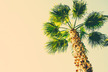 Palm Tree On Toned Beige Sky B...
