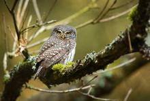 Eurasian Pygmy Owl (Glaucidium...