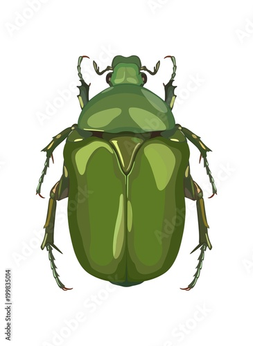 Detailed image of beetle beetle from above. Vector illustration. Fototapeta