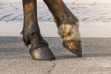 Two Legs Of A Horse's Hoof, On...