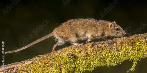 Strong Wild Brown rat at night
