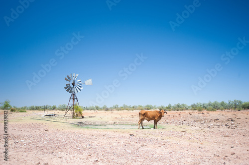 Arid Australian landscape during drought showing a windmill and cow