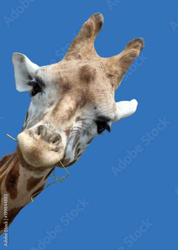 Photo  Giraffe portrait, Giraffe schaut neugierig um die Ecke, Isoliert auf blauem Hin