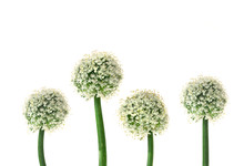 Flowing Onion Isolated White Background. Floral Design