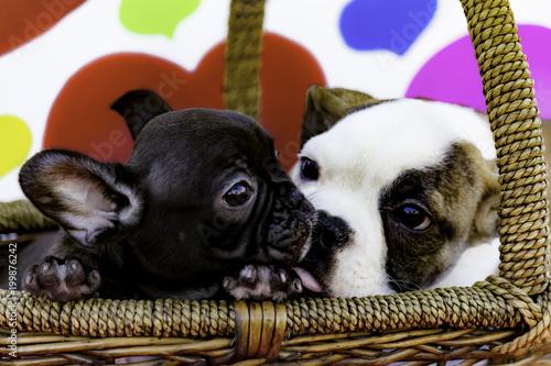White And Tan English Bulldog Puppy Kissing A Black French Bulldog