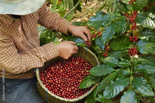Fresh coffee bean in basket Wallpaper Mural