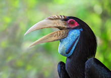 Detailed  On The Face Of The Wreathed Hornbill, Bar-pouched Wreathed Hornbill (Rhyticeros Undulatus) (Female).