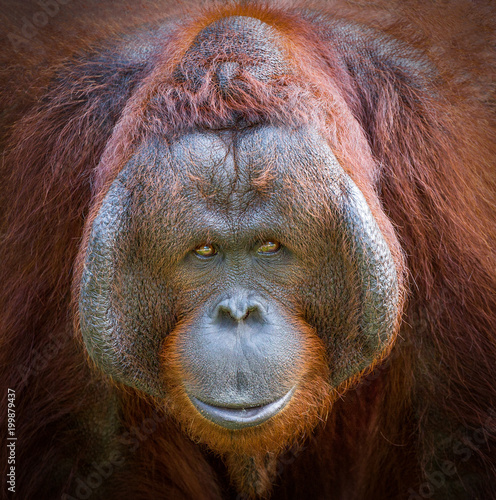 Colorful detail on the face of a beautiful orangutan.