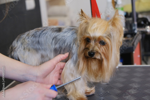 Professional Haircut And Dog Care Yorkshire Terrier In The Grooming
