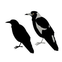 Australian Magpie Vector Illus...